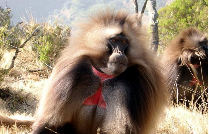 Monyet Gelada hanya hidup di dataran tinggi negara Afrika, Etiopia. (Foto: Kolumbusjogger/wikipedia/CC)